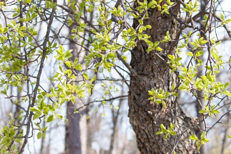 Hojas verdes jovenes en arbusto y ?rbol Fondo fresco temprano de la primavera imágenes de archivo libres de regalías
