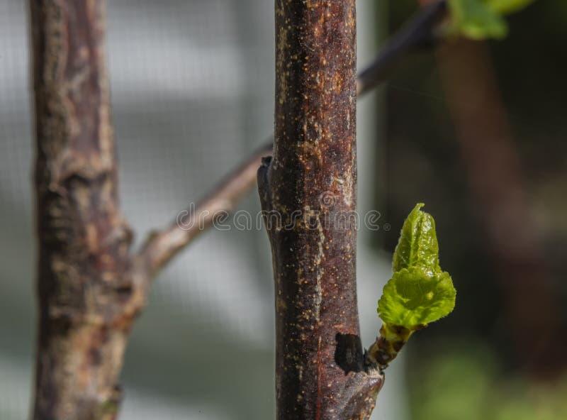 Hojas verdes jovenes en día soleado del color de la primavera fotografía de archivo libre de regalías