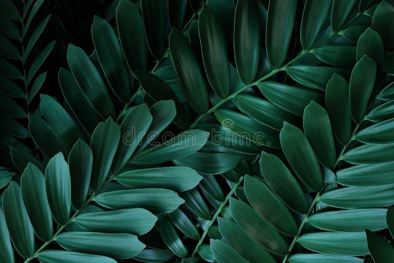 Hojas verdes oscuras patrón de palma de cartón o cicad de cartón Zamia furfuracea planta evergreen nativa de México, abstracto imagenes de archivo