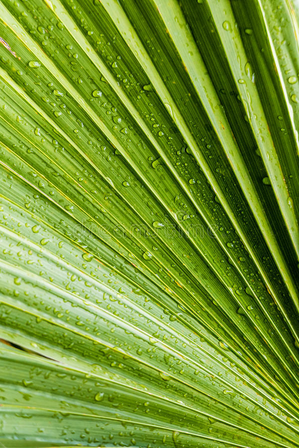 Hojas verdes tropicales grandes mojadas con las gotas de agua fotografía de archivo libre de regalías