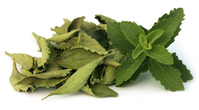Hojas verdes y dired del Stevia foto de archivo libre de regalías