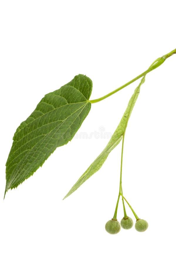 Hojas verdes y frutas del tilo, aisladas en el fondo blanco fotos de archivo libres de regalías