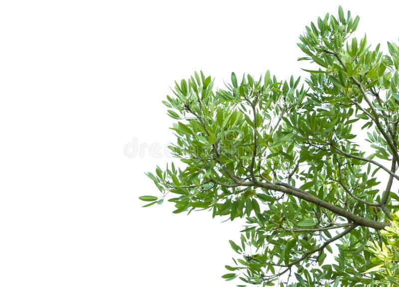 Hojas verdes y rama de árbol aislada en un fondo blanco imagen de archivo