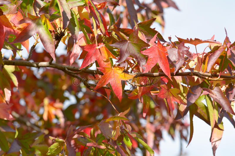 Hojas vibrantes brillantes del árbol del sweetgum del color (styraciflua del liquidámbar) imágenes de archivo libres de regalías