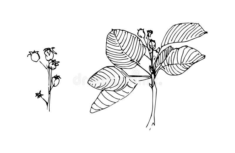 Hojas y bayas Esquema de la hierba Planta dibujada mano ilustración del vector