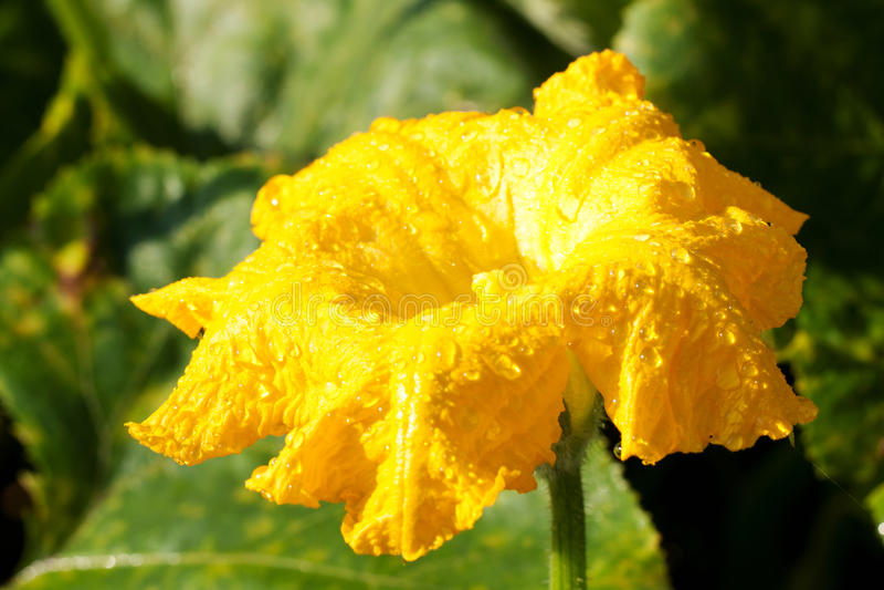Hojas y flor de la calabaza imagenes de archivo