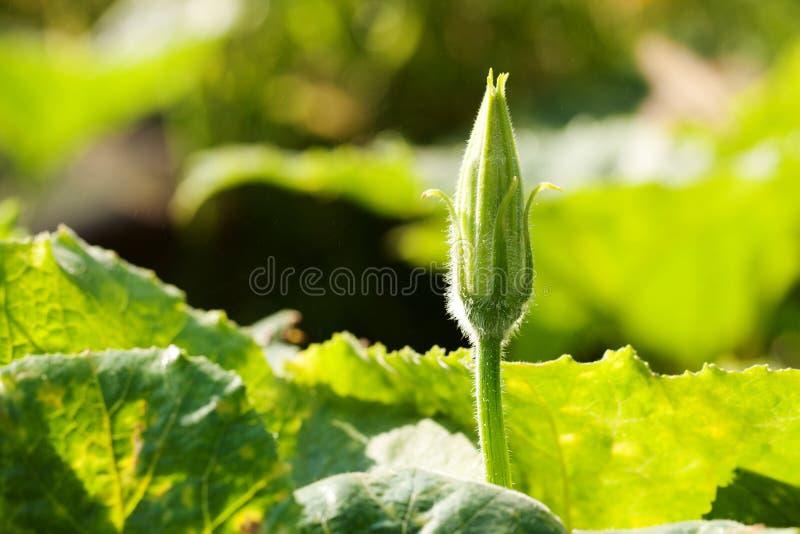 Hojas y flor de la calabaza fotos de archivo