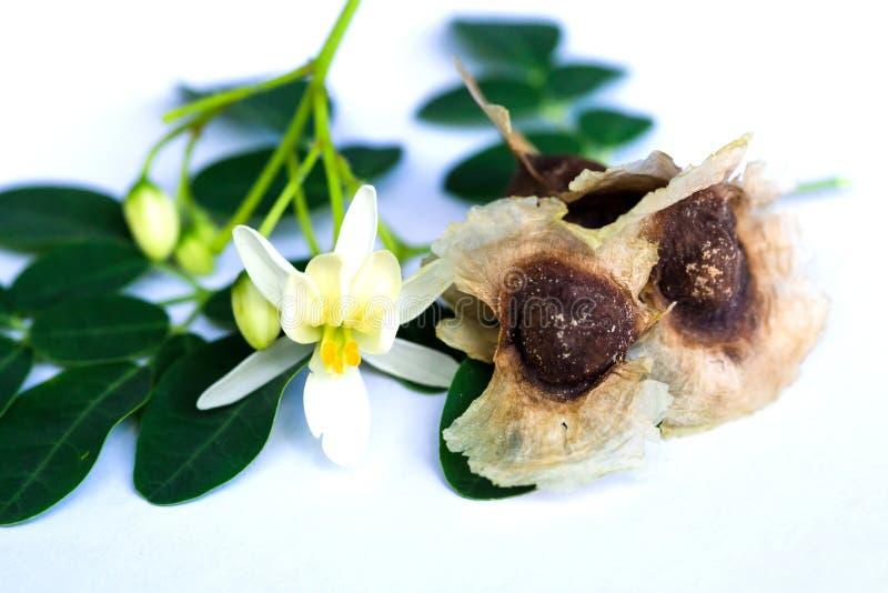 Hojas y flor de la moringa oleifera imagenes de archivo