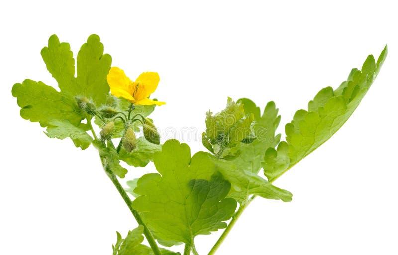 Hojas y flor del celandine fotos de archivo libres de regalías