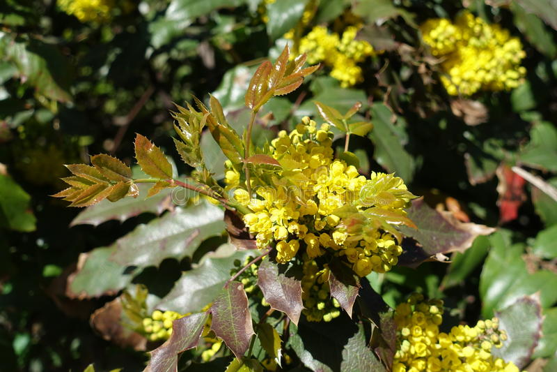 Hojas y flor frescos del aquifolium del Mahonia imagen de archivo libre de regalías