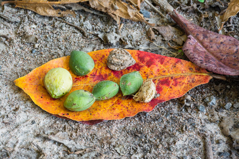Hojas y fruta de la almendra del mar fotografía de archivo libre de regalías