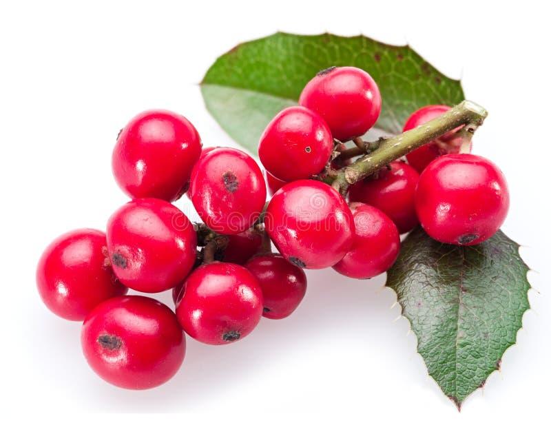 Hojas y frutas europeas del acebo (Ilex) imagen de archivo libre de regalías