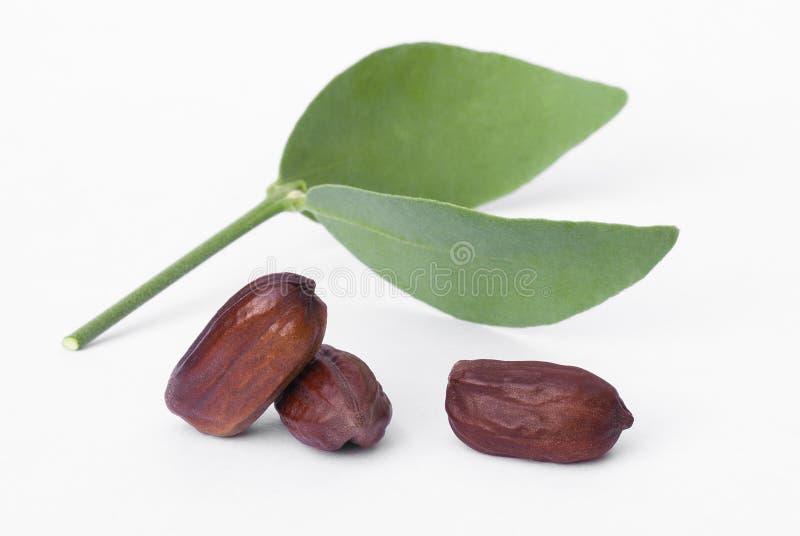 Hojas y semillas de la jojoba (Simmondsia chinensis) foto de archivo