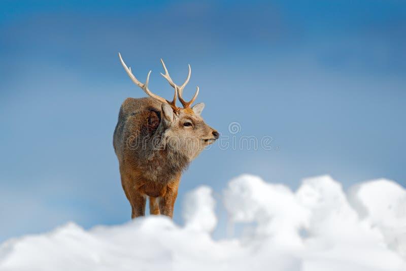 Hokkaida sika rogacz, Cervus Nippon yesoensis w śnieżnej łące, zim górach i lesie w tle, Zwierzę z poroże wewnątrz zdjęcia stock