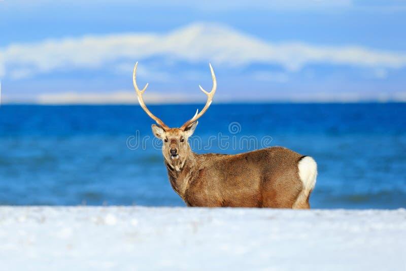 Hokkaido sikahjortar, Cervusnippon yesoensis, i kusten med mörker - blått hav, vinterberg i bakgrunden, djur med antl fotografering för bildbyråer