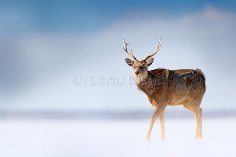 Hokkaido sikahjortar, Cervusnippon yesoensis, i snöängen, vinterbergen och skogen i bakgrunden, djur med hornet på kronhjort royaltyfri fotografi