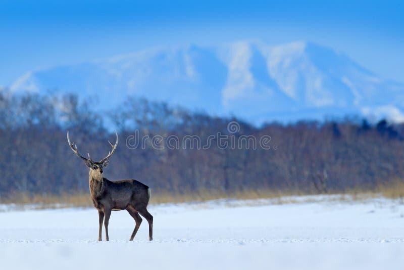 Hokkaido sikahjortar, Cervusnippon yesoensis, på den snöig ängen, vinterbergen och skogen i bakgrunden som är djur med arkivfoto