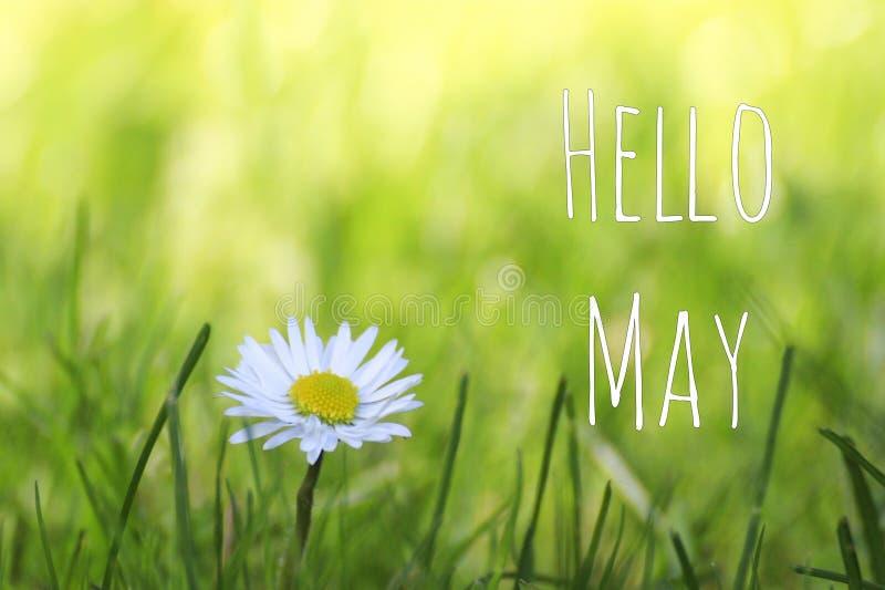 Hola el texto de mayo y la margarita blanca florecen en fondo del prado de la primavera foto de archivo libre de regalías