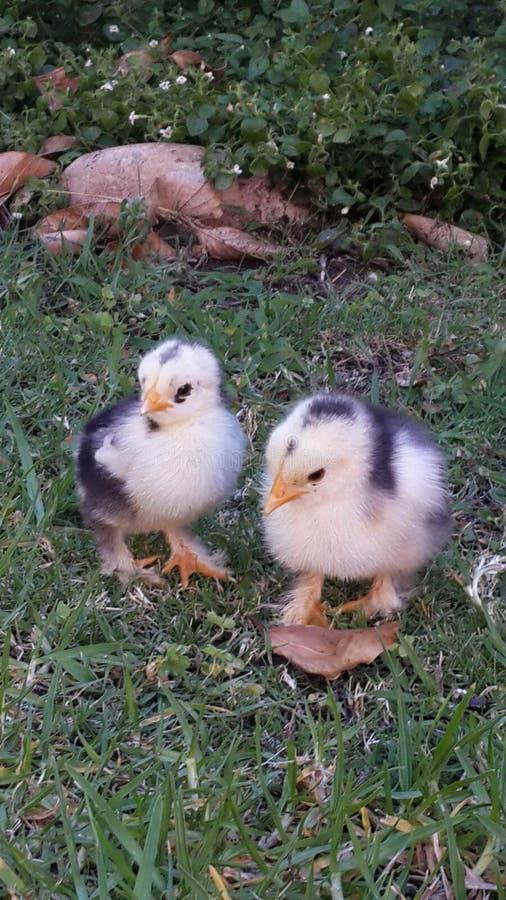 Hola polluelo fotografía de archivo libre de regalías