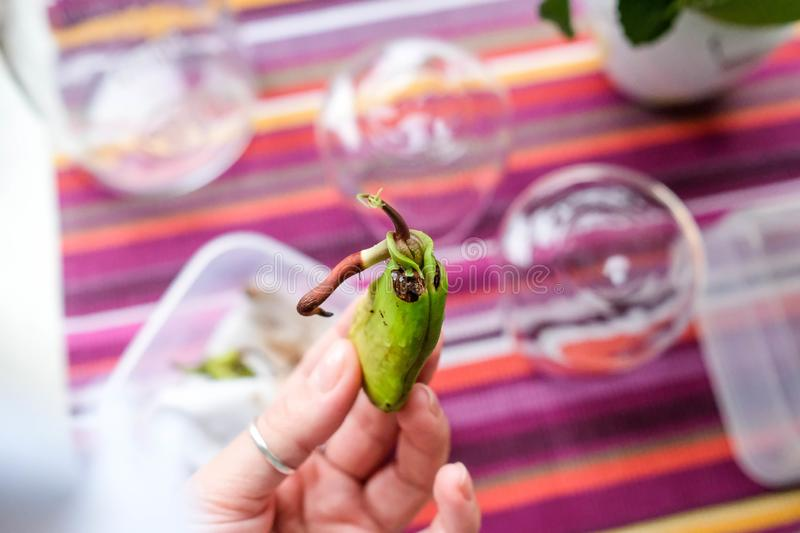 Hold a mango seed in your hands. Sprouted seed. Examine the sprout and root. royalty free stock photography
