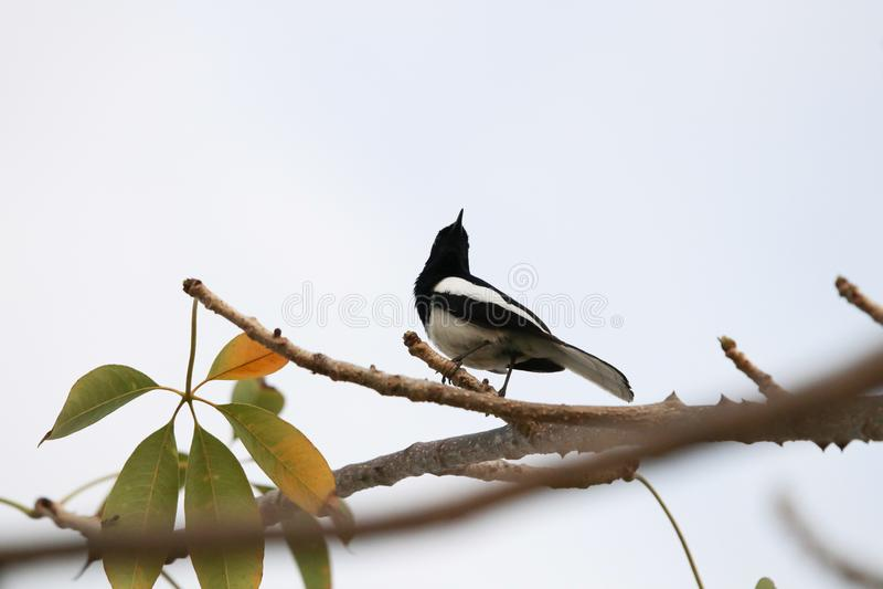 Holdi för djur för orientalisk skata-rödhake svartvit fågeldjurliv arkivfoton