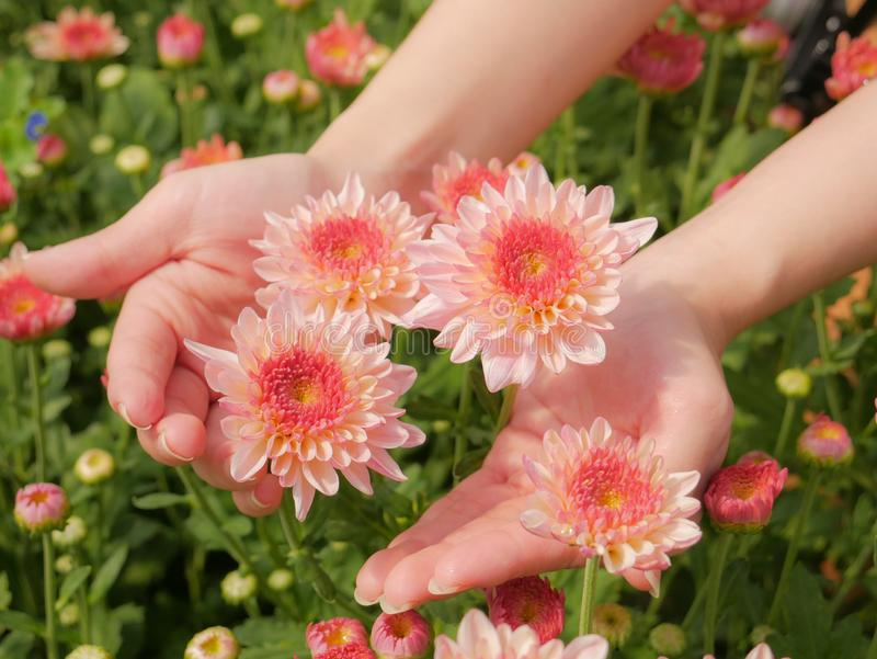 Holding a beautiful pink Chrysanthemum flower in both hands with garden background. Holding a beautiful pink Chrysanthemum flower in both hands with garden view stock images
