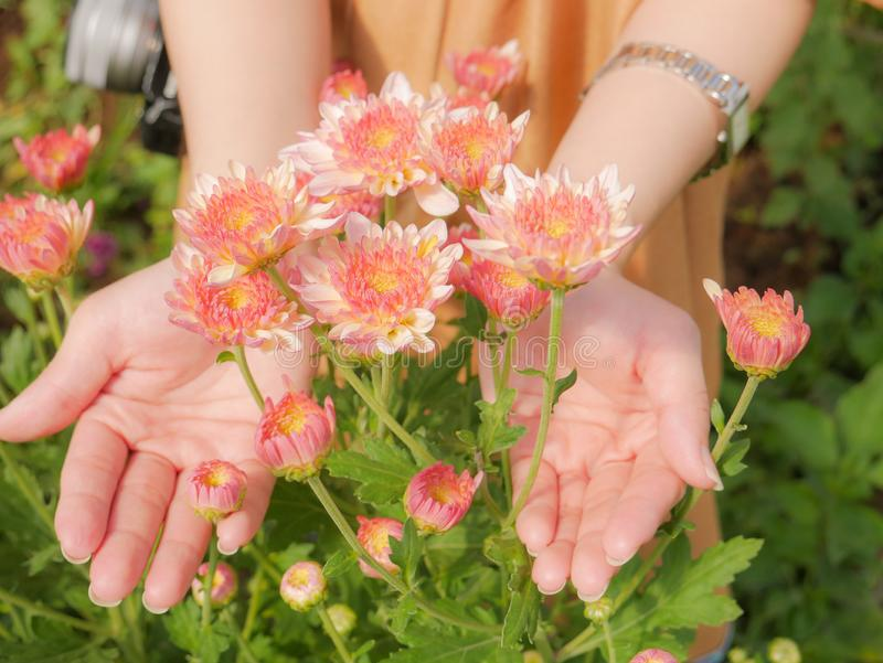 Holding a beautiful pink Chrysanthemum flower in both hands with garden background. Holding a beautiful pink Chrysanthemum flower in both hands with garden view royalty free stock photography