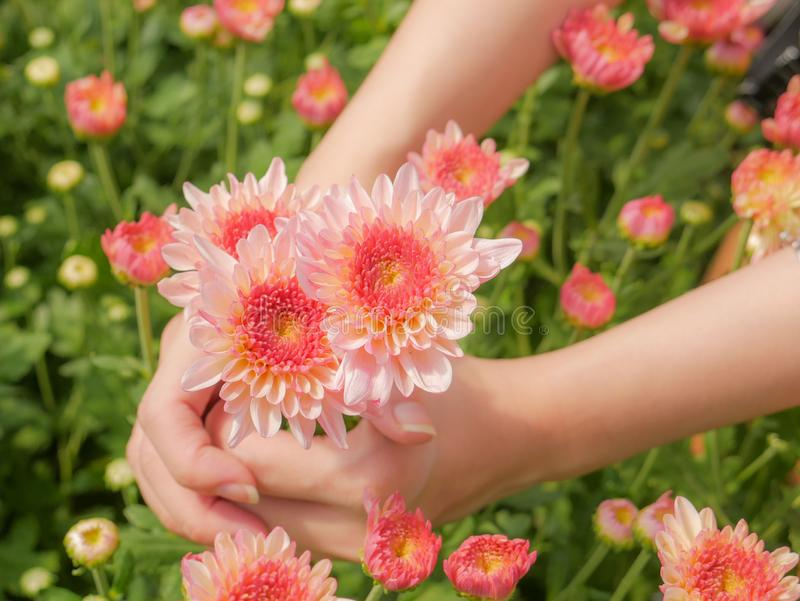 Holding a beautiful pink Chrysanthemum flower in both hands with garden background. Holding a beautiful pink Chrysanthemum flower in both hands with garden view stock photography