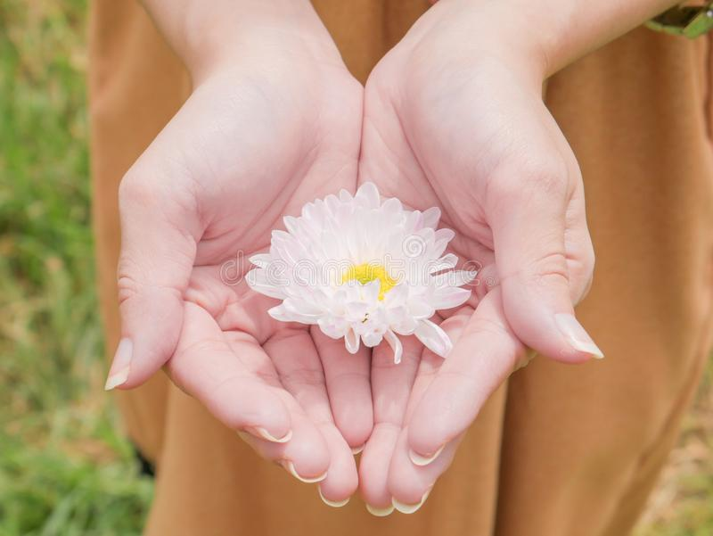 Holding a beautiful white Chrysanthemum flower in both hands with garden background. Holding a beautiful white Chrysanthemum flower in both hands with garden royalty free stock photography