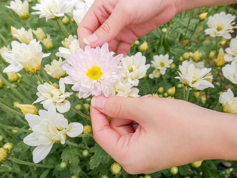Holding a beautiful white Chrysanthemum flower in both hands with garden. View background royalty free stock photography