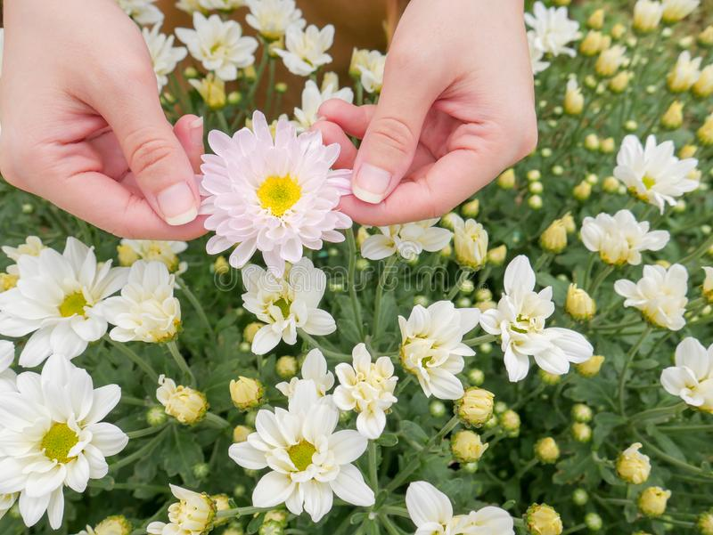 Holding a beautiful white Chrysanthemum flower in both hands with garden. View background royalty free stock photos