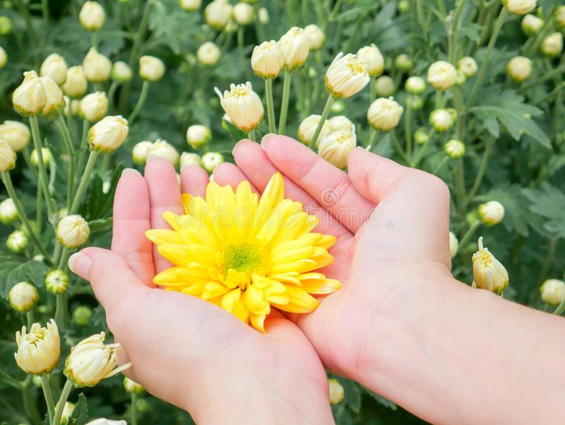 Holding a beautiful yellow Chrysanthemum flower in both hands with garden. View background stock image