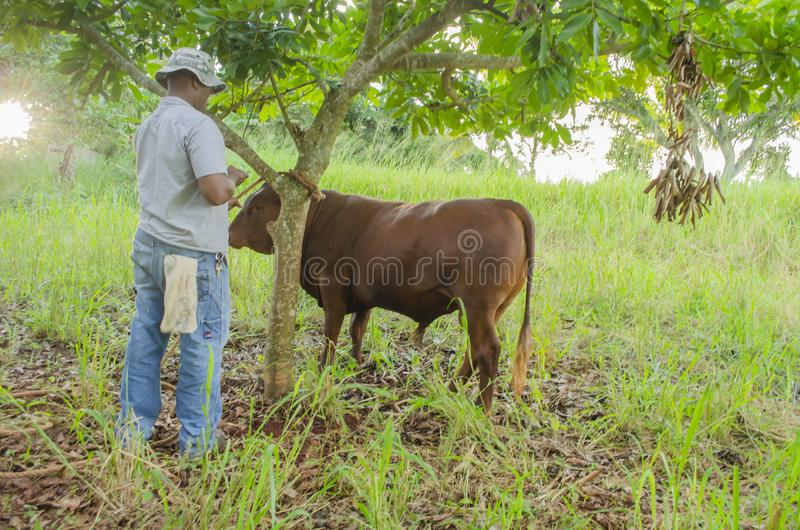 Holding Cattle By Rope royalty free stock photography