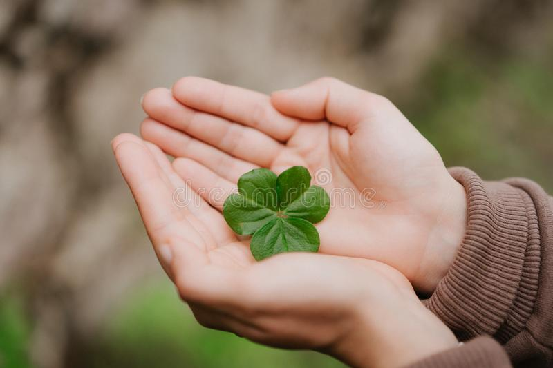 Holding a clover leave on the in female hand palms. Concept of luck stock photography