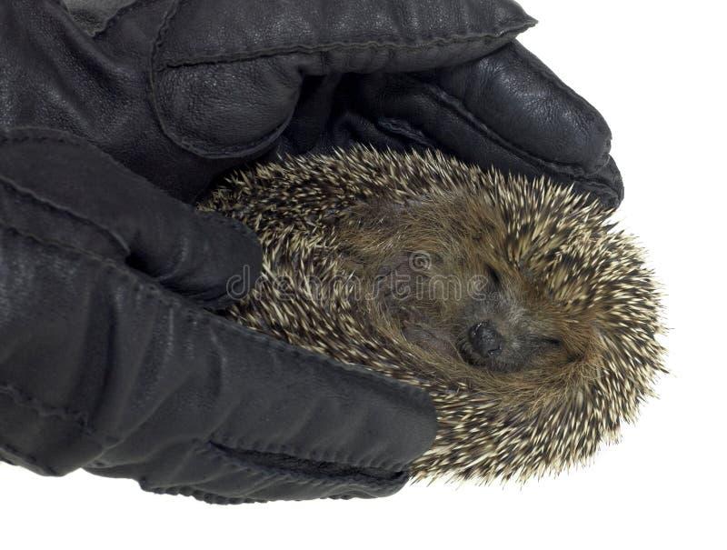 Holding a hedgehog stock images