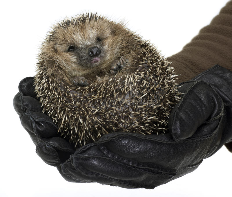 Holding a hedgehog royalty free stock images