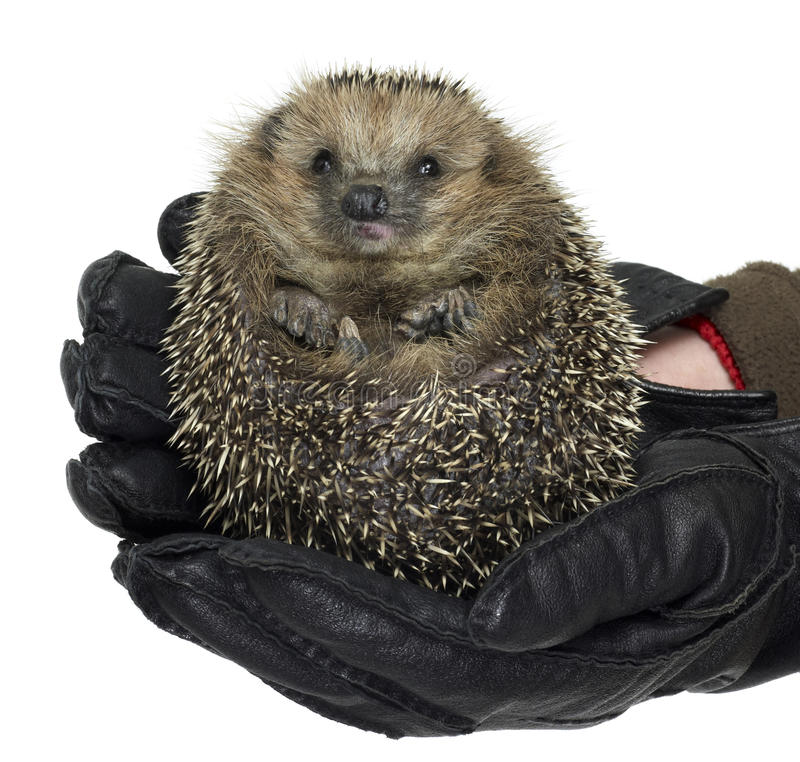 Holding a hedgehog stock photo