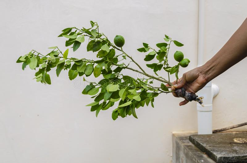 Holding A Key Lime Plant. Holding an isolated and severed branch of a key lime tree with lush green leaves, unripe limes and the held end wrapped with black royalty free stock photo