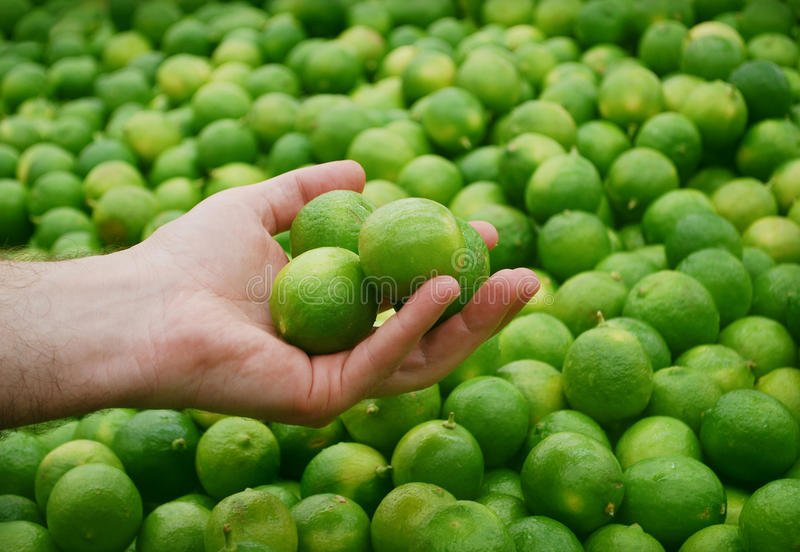 Holding limes. Man hand holding limes with many limes in the background stock photos