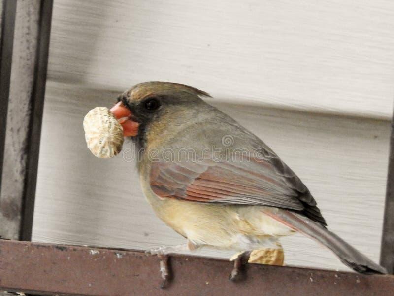 Holding Peanut cardinal femenino en su pico fotografía de archivo libre de regalías