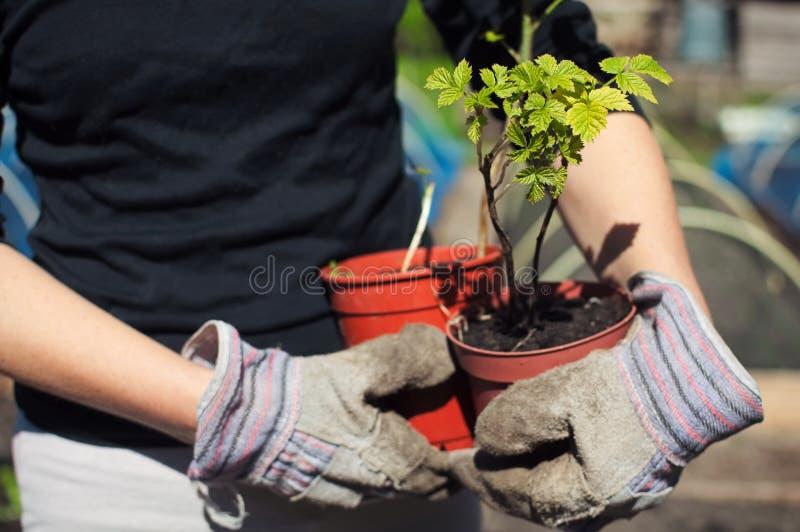 Holding raspberry plants royalty free stock photography