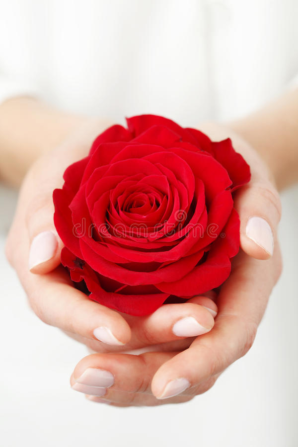 Holding a red rose. Woman holding a red rose head in her hands Shallow focus royalty free stock photos