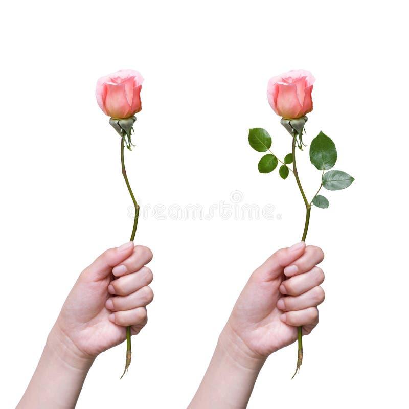 Holding rose isolated on white background royalty free stock image