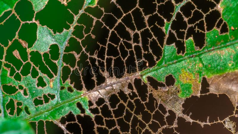 Hole On Green Leaf Texture royalty free stock image