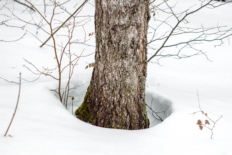 Hole in the snow around trees. During the thaw in wintern royalty free stock photo