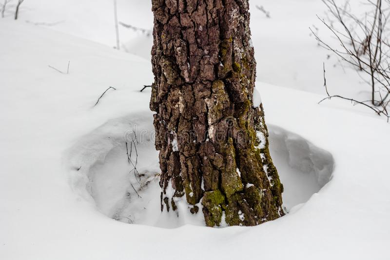 Hole in the snow around trees. During the thaw in wintern stock photos