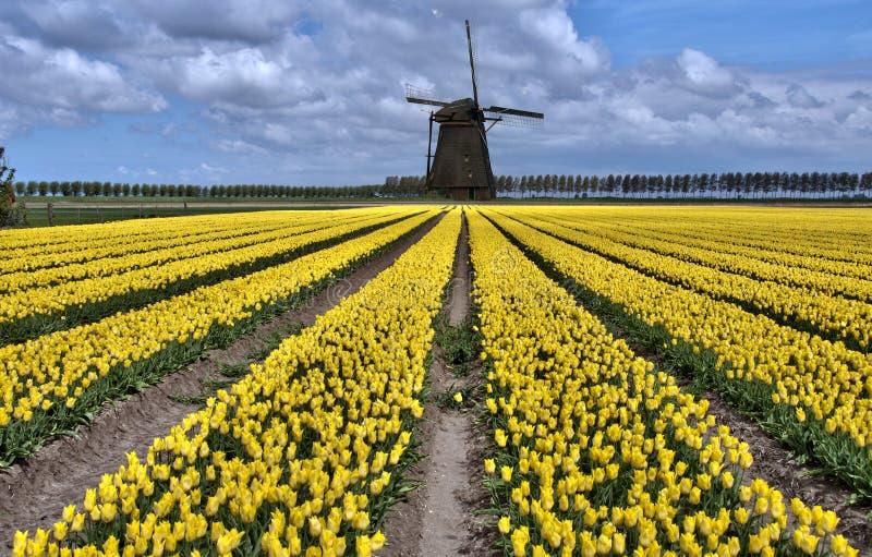 holender odpowiada tulipanowego wiatraczek zdjęcie royalty free