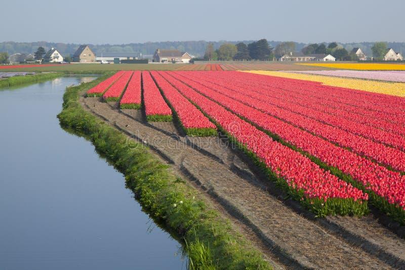 holender odpowiada tulipanu fotografia stock