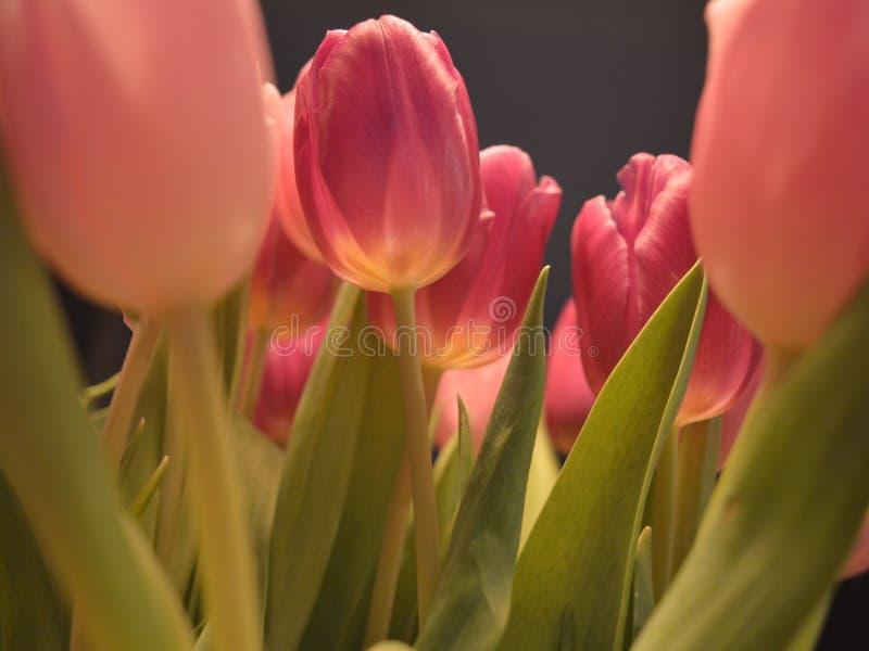 Holenderscy tulipany obrazy stock