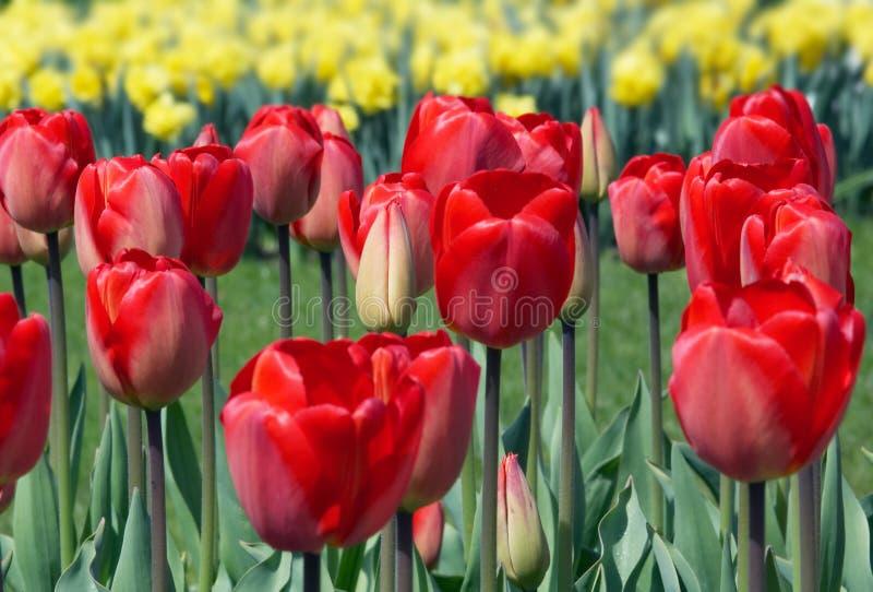 holenderskich tulipanów obrazy royalty free